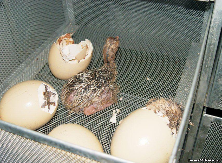 Условия инкубации страусиных яиц в домашних условиях